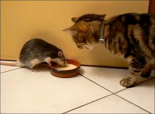 Кот, крыса, молоко