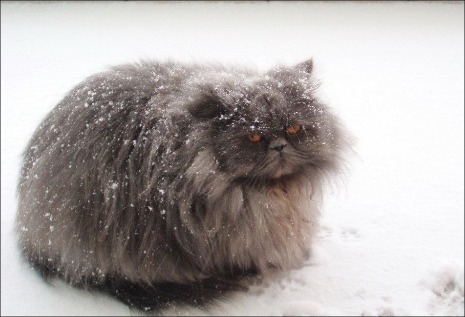 Коты в снегу