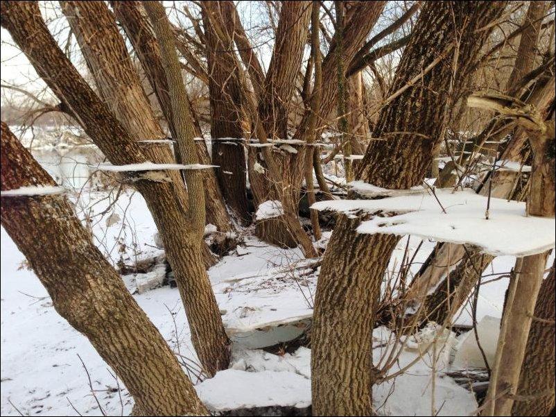 Осколки льда на деревьях оставшиеся после наводнения