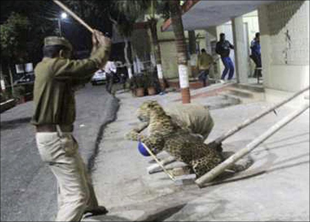 Леопард устроил переполох