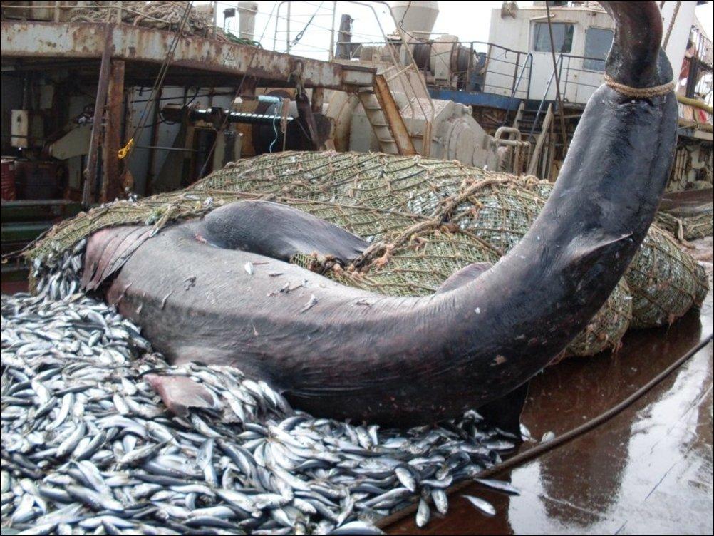 Акула попала в трал