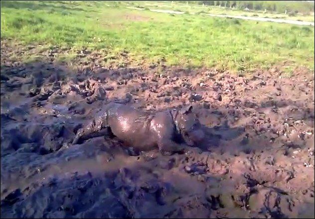Собака валяется в грязи