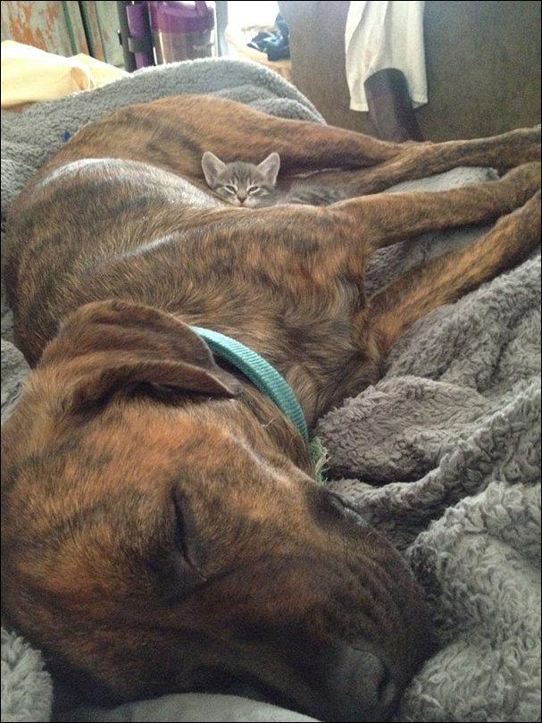 Коты которые используют собак как подушку