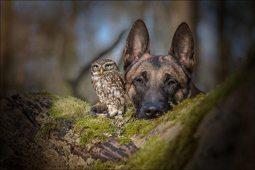 Сова и овчарка