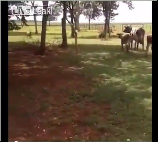 Овца и бык