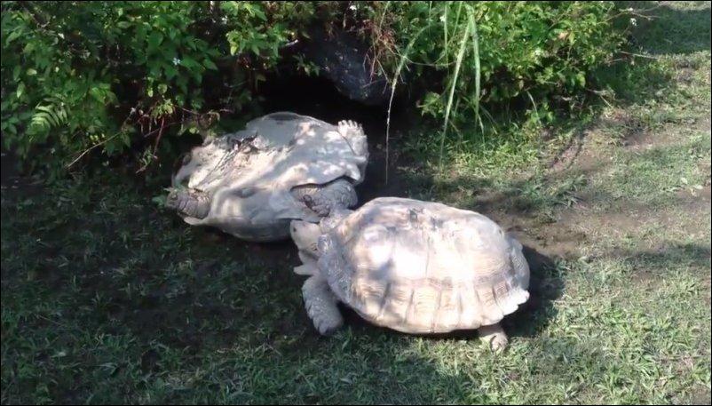 Как черепаха спасла черепаху