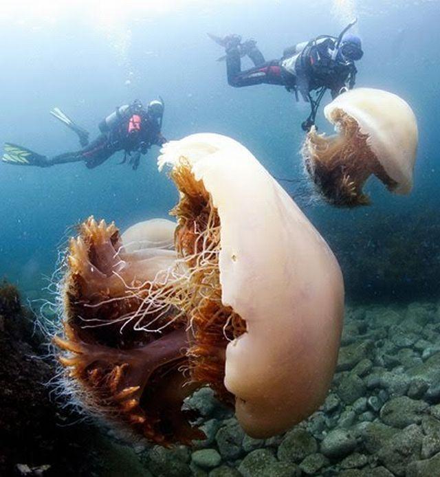 200kg-jellyfish-02