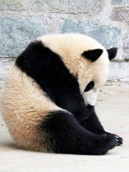 panda-sleeping-fail-01