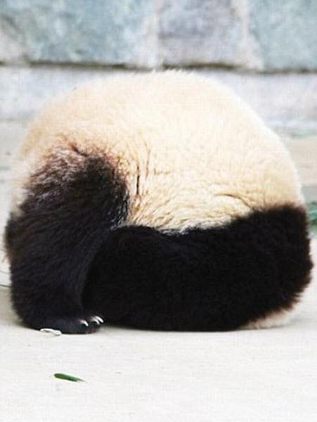 panda-sleeping-fail-03