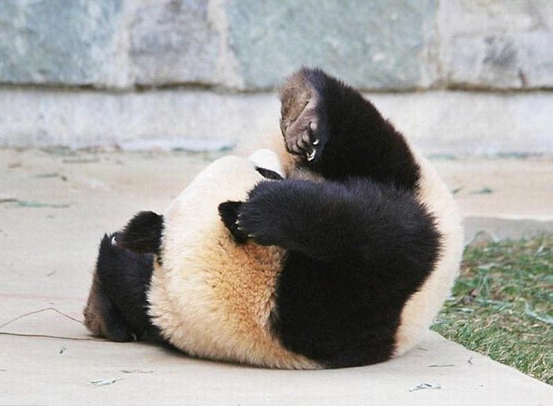 panda-sleeping-fail-05