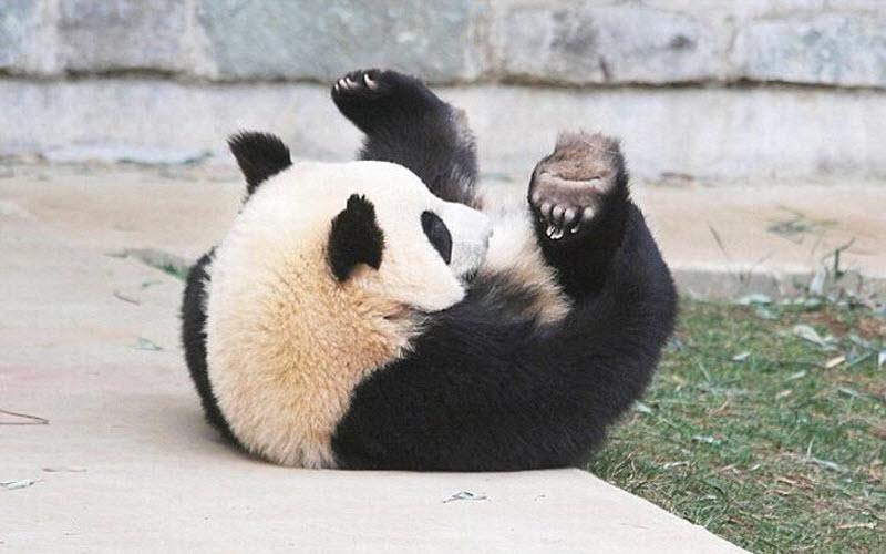panda-sleeping-fail-06