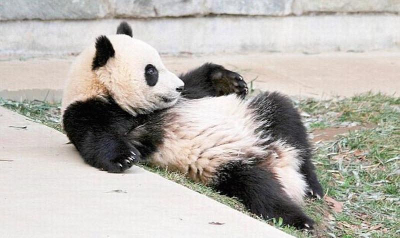 panda-sleeping-fail-08