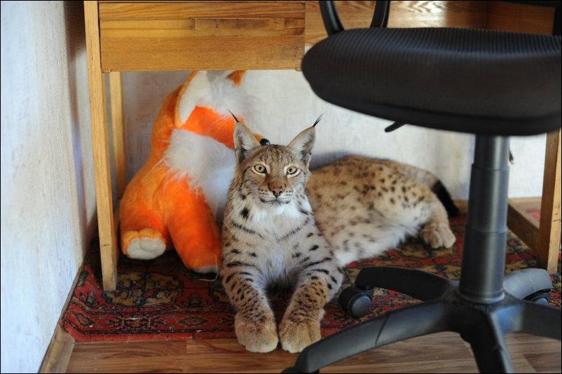Разведение котов в домашних условиях