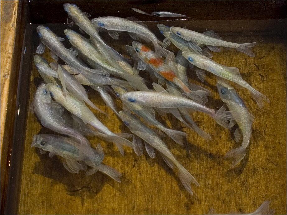 Спасение золотой рыбки