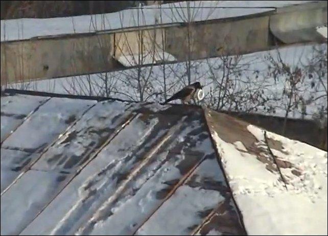 Ворона катается по склону крыши