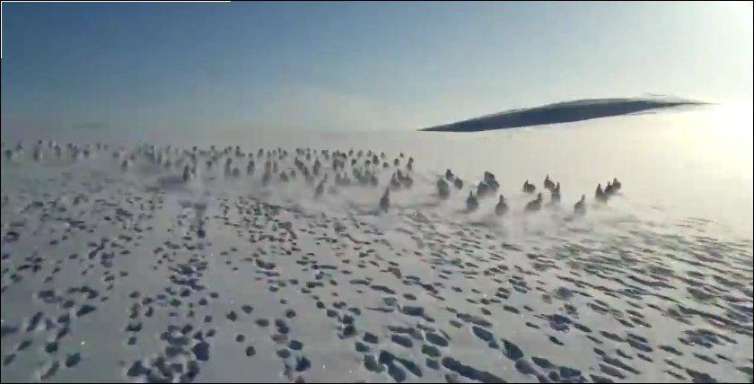 Зайцы убегают от снегохода