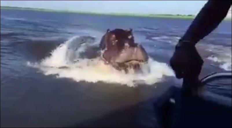 Бегемот догнал катер с туристами