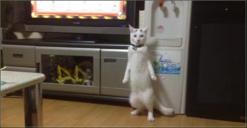 Кот ходит на двух лапах