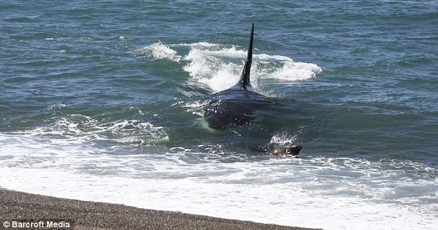 killer-whale-01