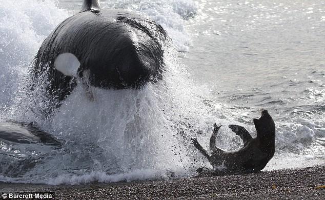 killer-whale-03