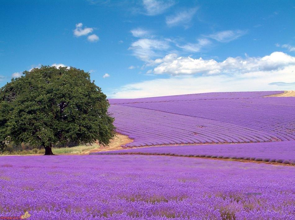 lavender-02