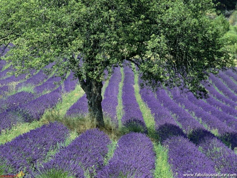 lavender-04