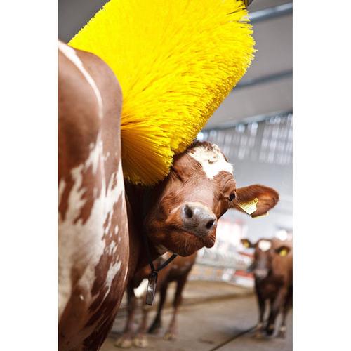 cow-wash-03