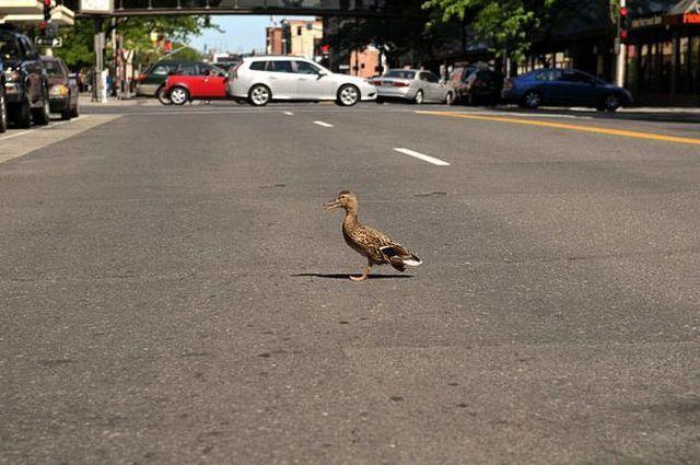 duck-rescue-08