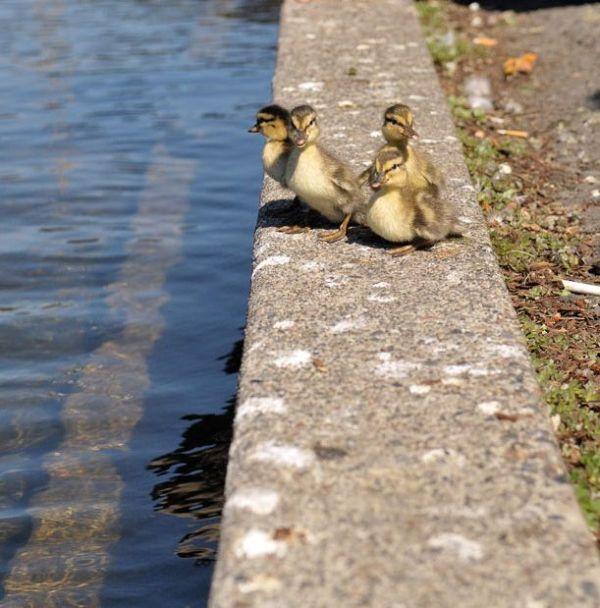 duck-rescue-15