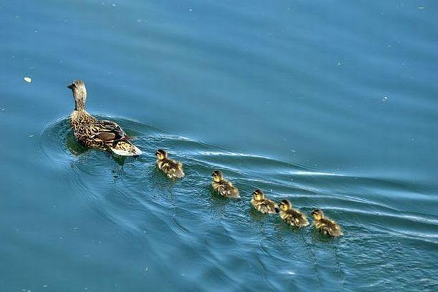 duck-rescue-17