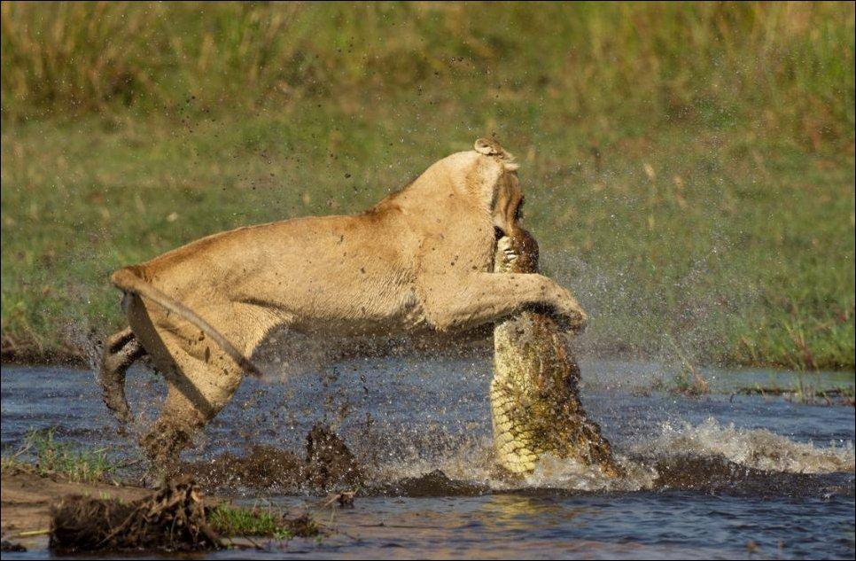 Схватка львицы с крокодилом