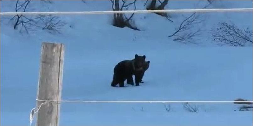 Медведи испугались