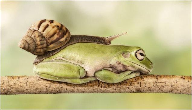 Улитка переползает через спящую лягушку