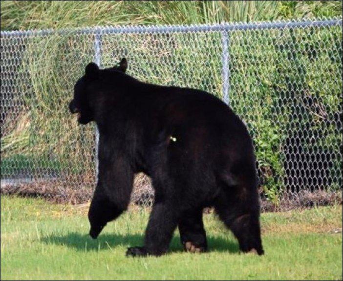 Спасение тонущего в море медведя