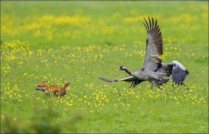 Лиса и злые птицы