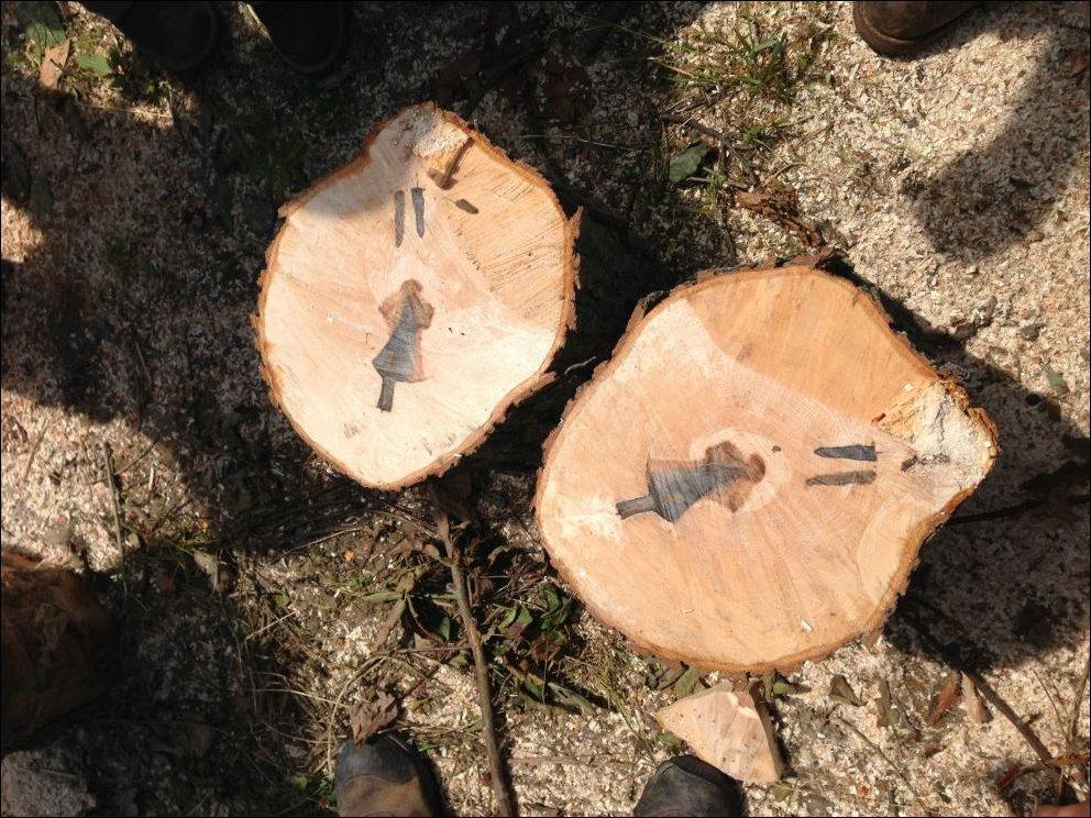 Стреловидный след на спиле дерева