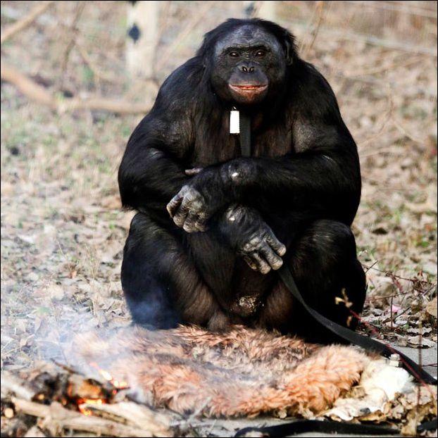 Обезьяна разводит костер и готовит еду