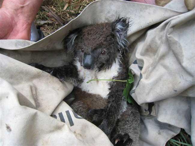koala-03