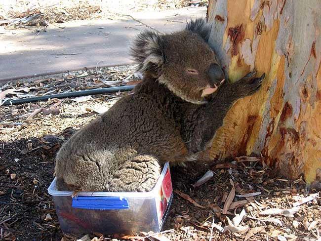 koala-05