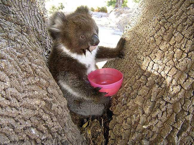 koala-06