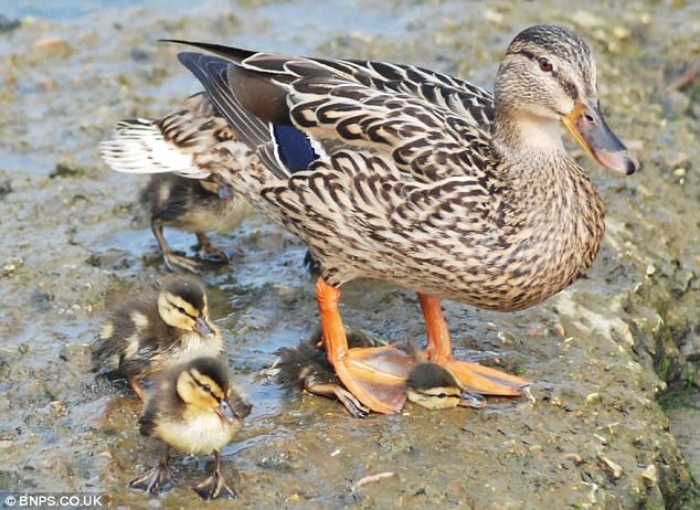mother-duck-02