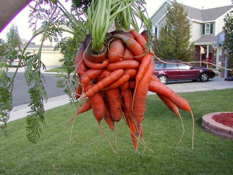 unusual-carrot-03