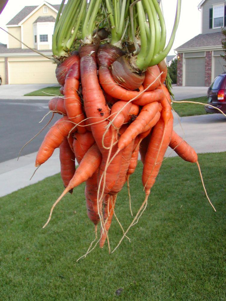 unusual-carrot-04