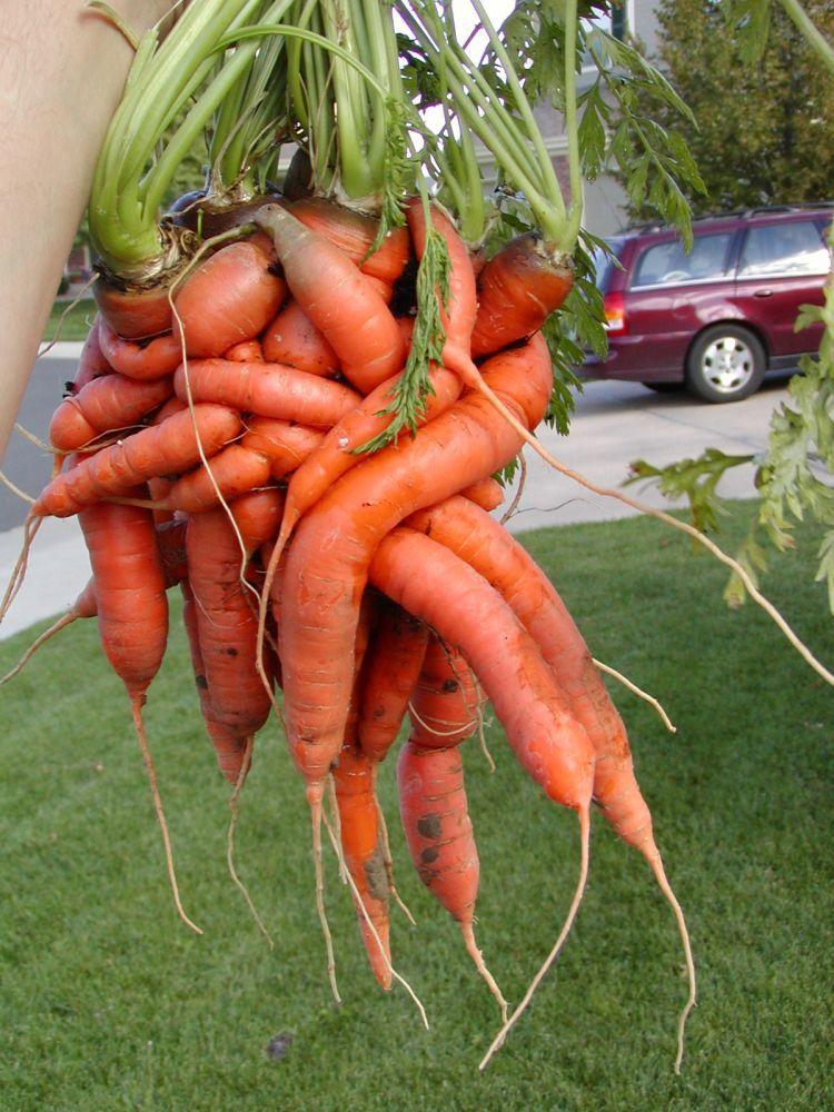 unusual-carrot-05