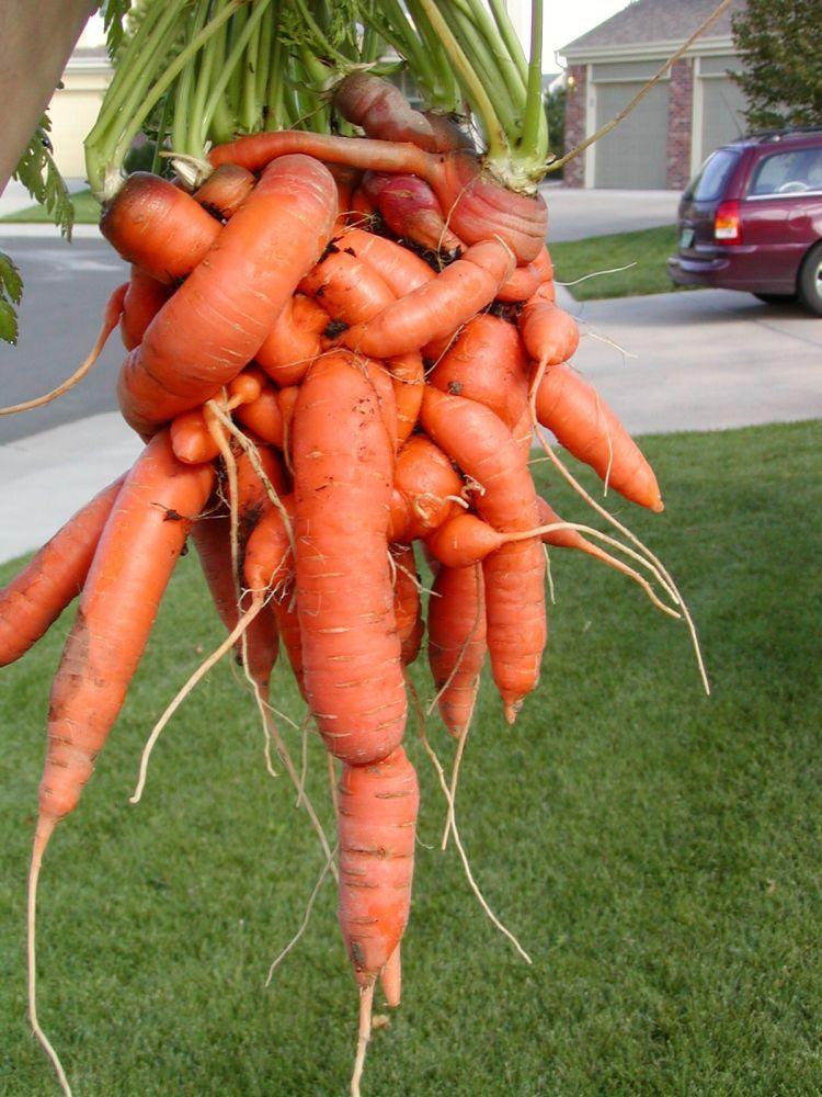 unusual-carrot-06