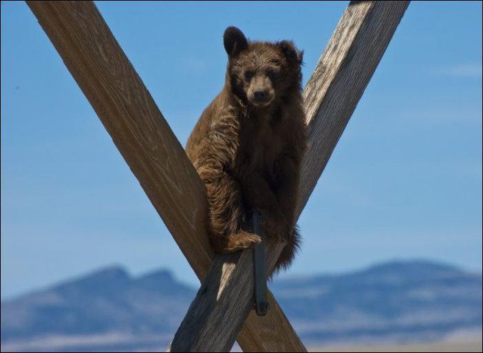 Медведь на опоре ЛЭП
