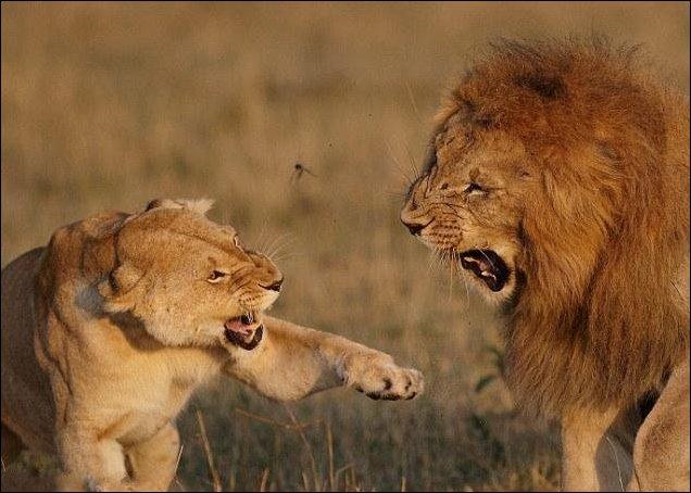 Лев и львица: семейная ссора