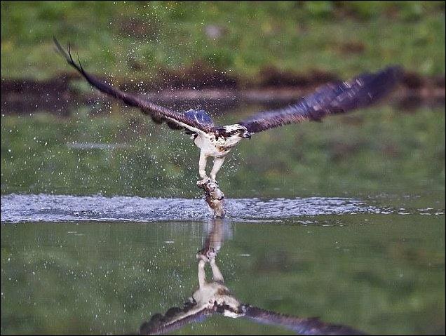 Скопа рыболов