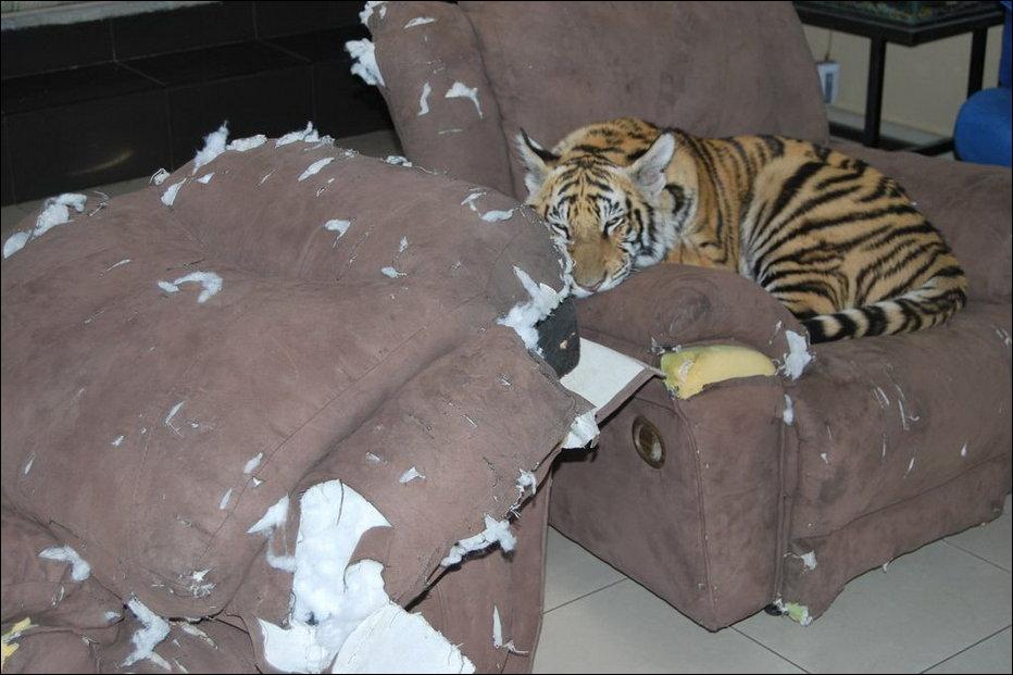 Бенгальский Тигр - домашнее животное