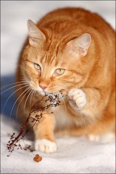 Кот жует травку